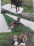 Cuccioli segugio